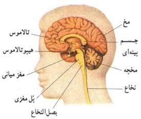 آشنایی با دستگاه عصبی مرکری+شکل
