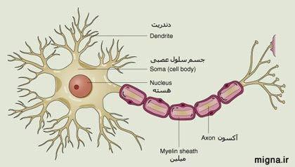 آشنایی با سلول های عصبی و انواع آن